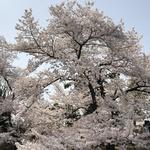 sakura_jp_1202さんのプロフィール画像